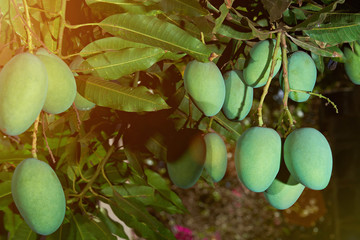 Clean green mango fruits on tree