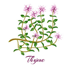 herbs de provence set.  thyme, oregano, Savory, Marjoram, Rosemary