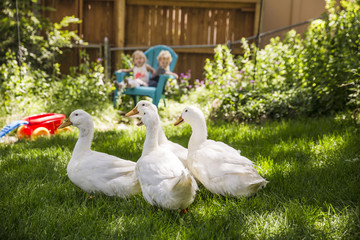 White ducks on grassy field with siblings sitting on chair in background at backyard