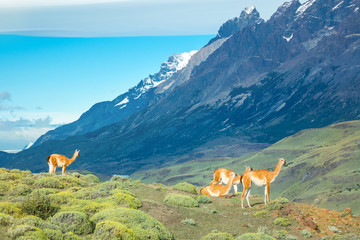 Guanaco lamas in national park Torres del Paine mountains, Patagonia, Chile, South America