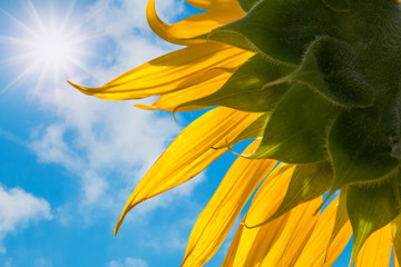 sunflower with blue sky in a sunny day