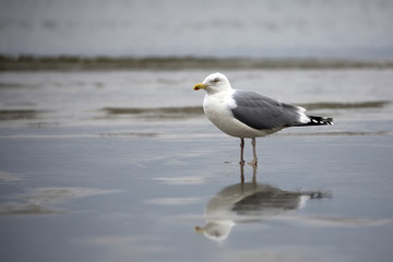 Gull in the wild