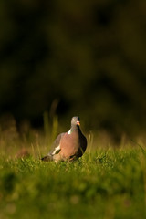 common wood pigeon, columba palumbus, czech republic