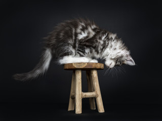 Maine Coon cat / kitten standing side ways on wooden stool looking down (profile) isolated on black background.