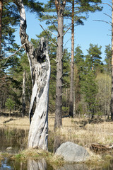 Spring landscape with old and dead tree, a vertical picture