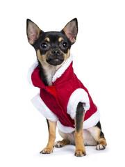 black chiwawa dog sitting side ways wearing cute christmas jacket  isolated on white background