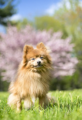 A red Pomeranian dog outdoors in the springtime in front of a pink blooming tree