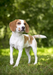 Portrait of a Foxhound dog outdoors