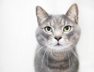 Portrait of a gray tabby domestic shorthair cat