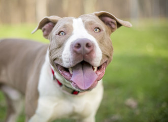 Portrait of a smiling Pit Bull Terrier mixed breed outdoors