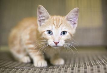 Portrait of an orange tabby kitten with blue eyes
