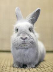 Portrait of a young gray Lionhead Rabbit