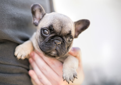 A person holding a young French Bulldog puppy