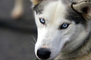 regard de chien