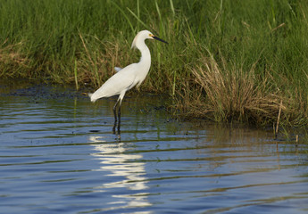 Egret Wading in Pond Hunting for Fish