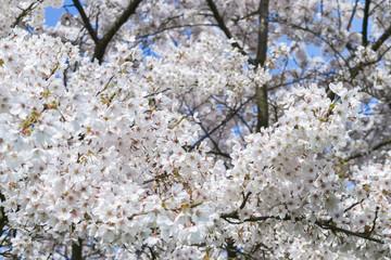 Cherry blossom. Snow - white flowers of cherry trees against a bright blue sky. Sakura flowering.