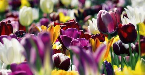 Fotoväggar - tulpen violett gelb weiß