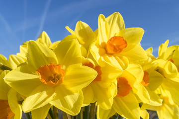 Yellow narcissus against the blue sky. Spring.