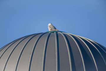Affisch - Snowy Owl Perched Atop a Silo