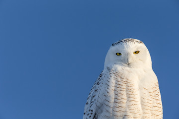Wall Mural - Snowy Owl with Copy Space