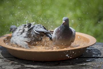 homing pigeon bird bathing in water bowl
