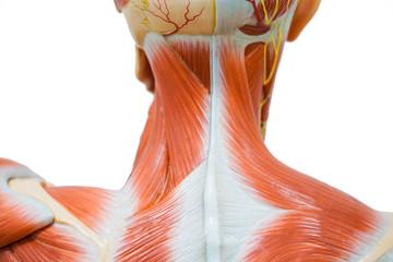 Human neck muscle anatomy