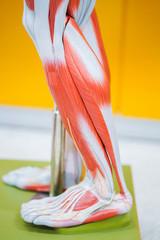 Human calf muscle anatomy