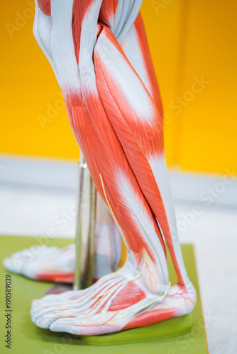 Human calf muscle anatomy\
