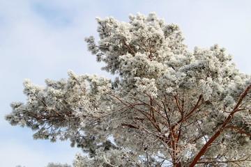 Сосна после снегопада