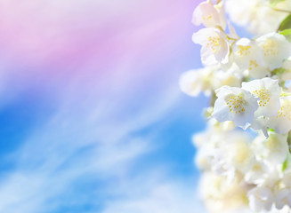Natural background. Flowering jasmine flowers against the sky with clouds