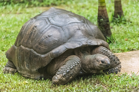 Aldabra Giant Tortoise, Seychelles tortoise walking on the grass