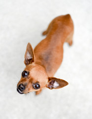 Pretty light brown chihuahua dog looking straight up at the camera