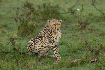 a single cheetah guards her prey on the Maasai Mara