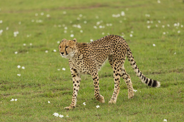 single cheetah walking on the savannah in the Maasai Mara