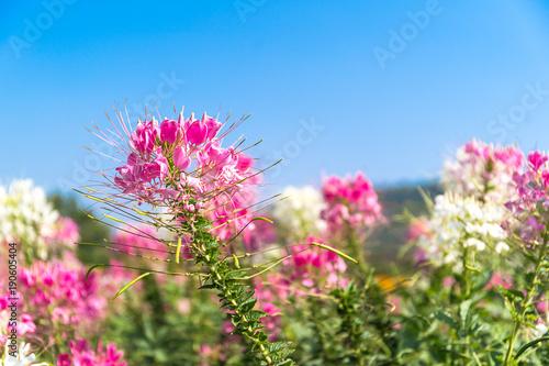 Pink And White Spider Flower Agent Blue Sky Stockfotos Und