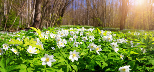 Wood with lots of white spring flowers in sunny day. Forest in springtime in wild nature with fresh new foliage
