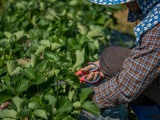 Workers working in strawberry field at Chieng Rai Thailand
