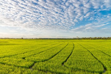 Green rice field with beautiful clouds and sky.