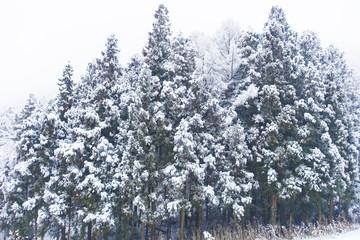 杉の林に降る雪