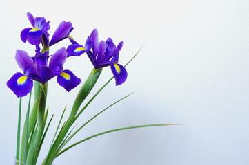 Photo sur Plexiglas Iris 青紫色の球根アイリス(3輪)