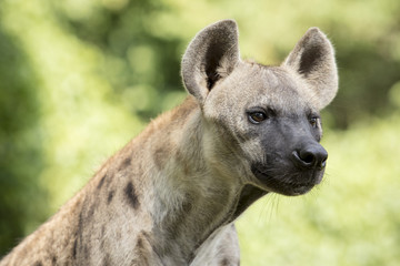 close up face of hyena and eye looking to hunting