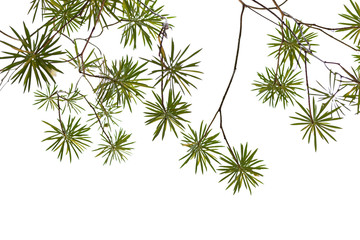 Branch green leaves background texture isolated