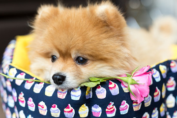 Beautiful and fluffy pomeranian dog lying in basket