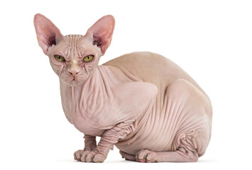 Sphynx Hairless Cat, 4 years old, portrait against white background
