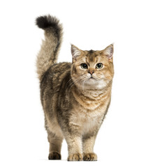 British Shorthair cat against white background