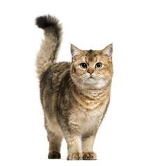 Photo sur Plexiglas Chat British Shorthair cat against white background