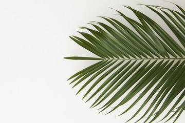 Tropical palm tree leaf on a plain white background
