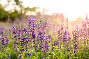 Lavender flowers in the field at sunset