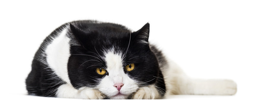 Mixed breed cat portrait against white background