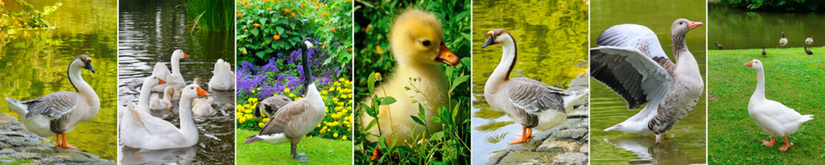 Domestic geese in the background of green meadows and lakes. Panoramic collage.